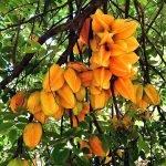 starfruit cabarete garden